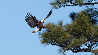 adult_bald_eagle_in_flight-20200224-106-Edit | by Dagny Gromer
