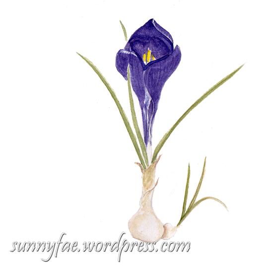 watercolour purple crocus