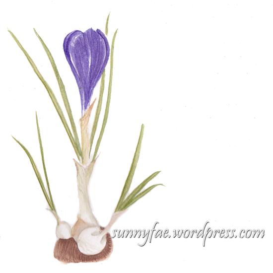 purple crocus watercolour