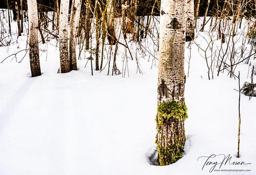 Silver birch in the snow
