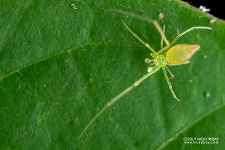 Comb-footed spider (Chrysso sp.) - DSC_4221