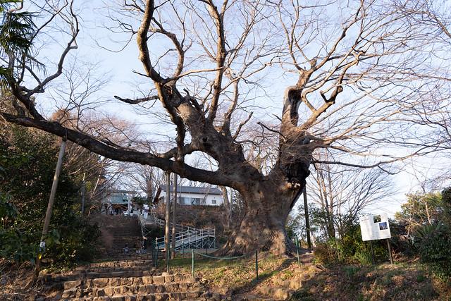 樹齢800年 金山の大ケヤキ