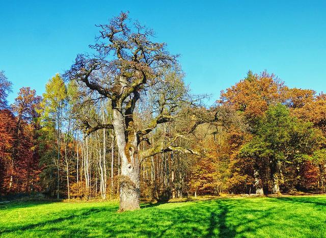 Herbstwald mit alter Eiche