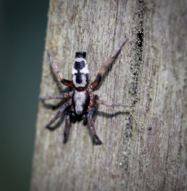 Common Patterned Ant-mimic Ground Spider (Sergiolus montanus), Prunedale, CA 0-24-20