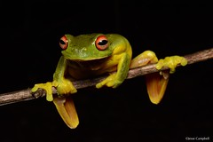 Red-eyed Tree Frog (Litoria chloris). Central Coast, NSW