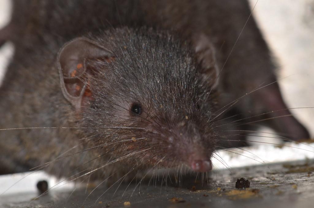 臭鼩(錢鼠),耳朵上橘色紅點為恙蟲。圖片提供:國立台灣師範大學