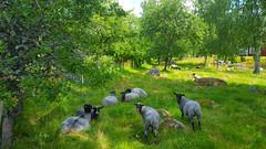 Sheep, Österåker, Södermanland, Sweden