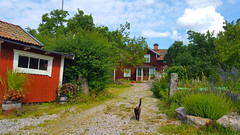Cat and typical Swedish houses, Österåker, Södermanland, Sweden