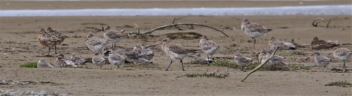 Mixed flock of bar-tailed godwit and red knot | by Steve Attwood