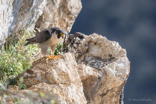 Faucon Pelerin-Falco peregrinus