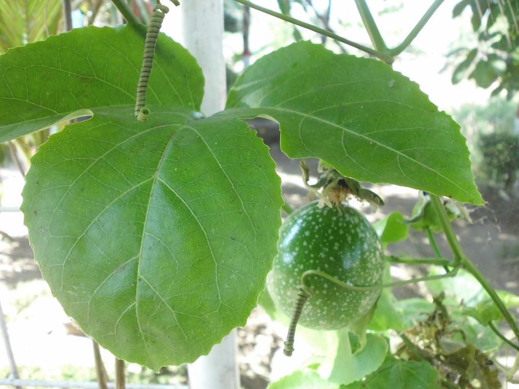 Passiflora edulis - Markisa