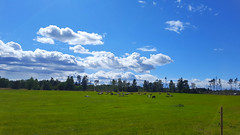 Cows on a field, Finnstorp, Södermanland, Sweden