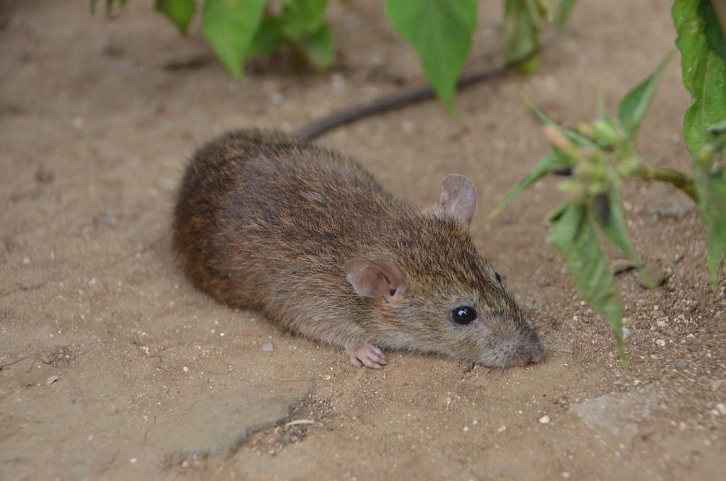 小黃腹鼠。圖片提供:國立台灣師範大學