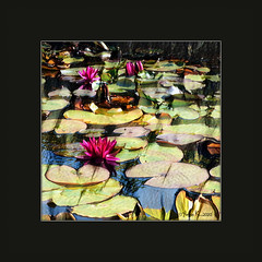 thinking of  water lilies...