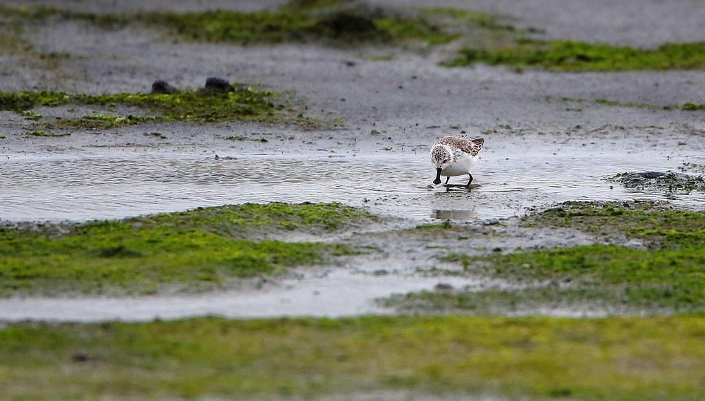 琵嘴鷸 Calidrispygmaea現場紀錄照。照片提供:彰化縣野鳥學會