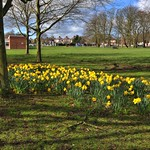 Daffs in Ashton Park, Preston