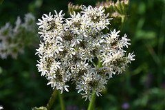 Berce commune - Heracleum sphondyliym L.
