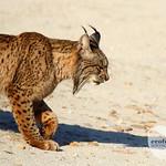 Iberian lynx Sierra Morena