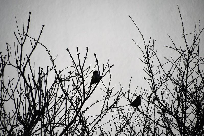 Sparrows 25-02-2020