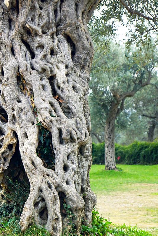 Олива в Баре