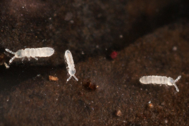 Diminutos colémbolos blancos