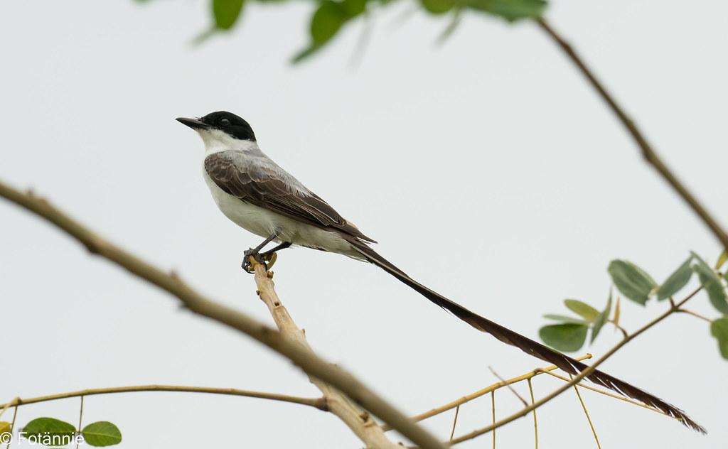 Gabelschwanz-Königstyrann / Fork-tailed Flycatcher