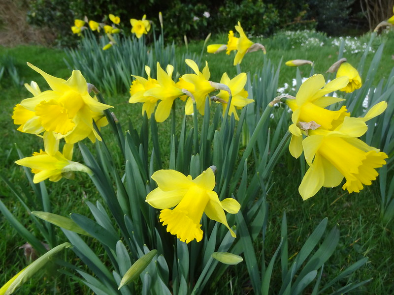 Sunny fields and spring flowers - Do love a Daffodil