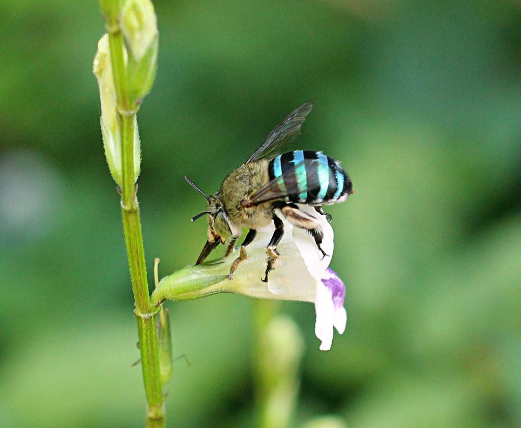 Blue-banded flower bee Amegilla cingulata_8327