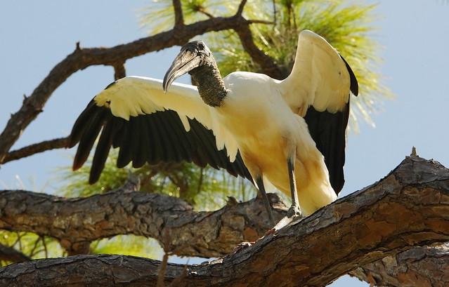 3S5X2660 Wood Stork