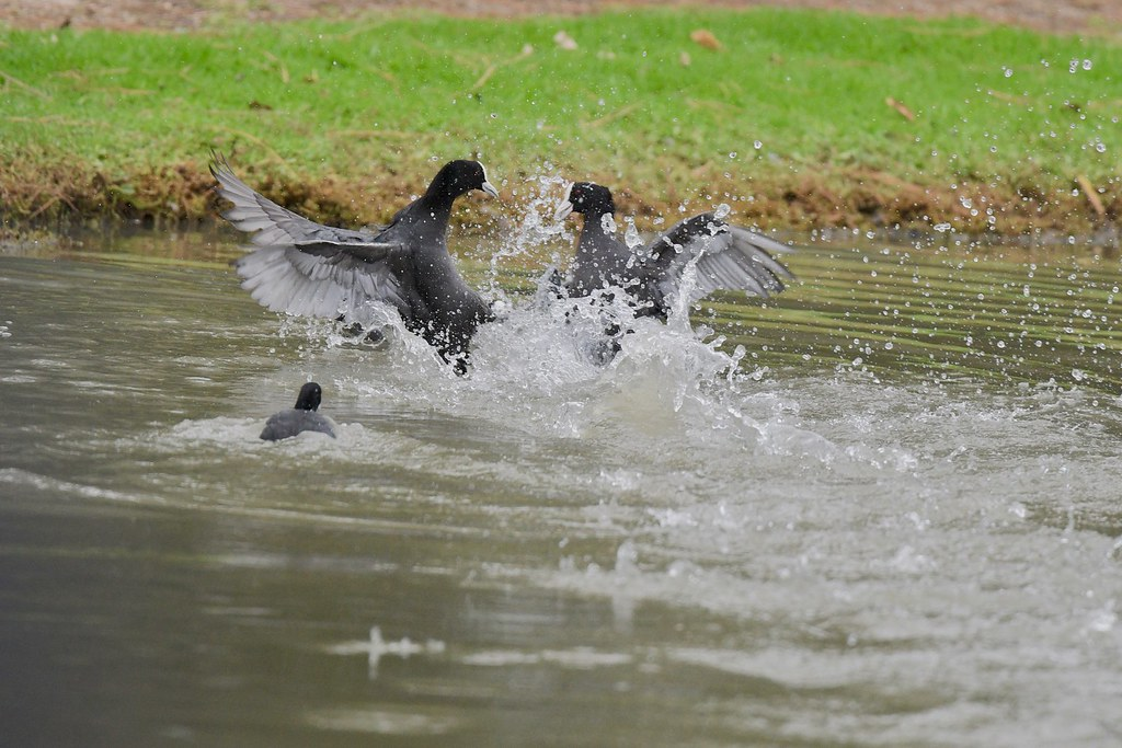 Eurasian Coots ( OK lets work this out )