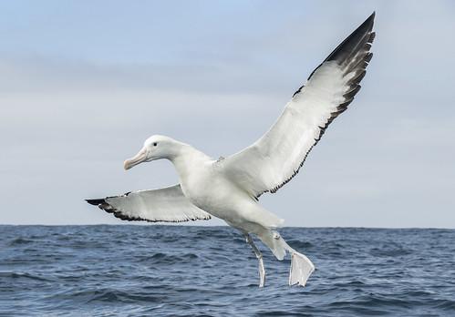 Gibson's Albatross or Gibson's Wandering Albatross Coming Down