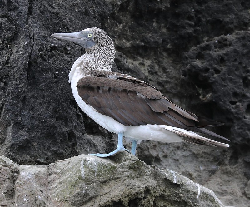 Blue-footed Booby_Sula nebouxii_Ascanio_cornell Amazon Cruise_DZ3A4779