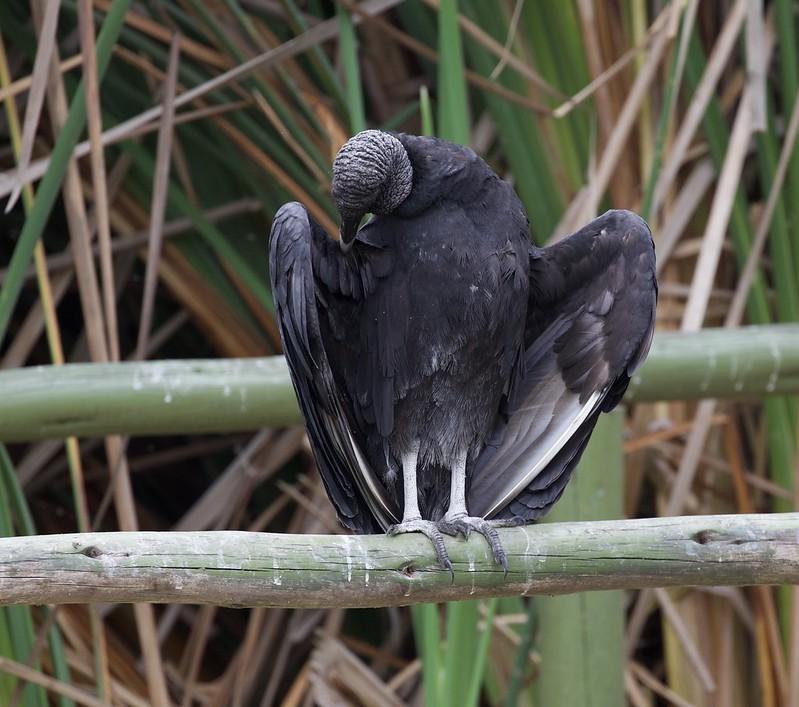 Black Vulture_Coragyps atratus_Ascanio_Lima day_Cornell_DZ3A4391