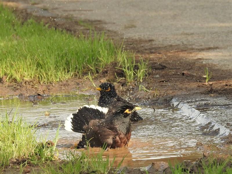 Birds bathe