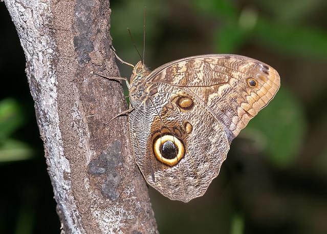 Almond-eyed Owl Butterfly
