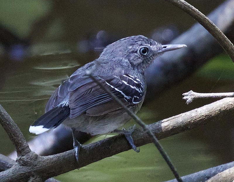 Band-tailed Antbird_Hypocnemoides maculicauda_Cornell Amazon Cruise_Ascanio_DZ3A5364