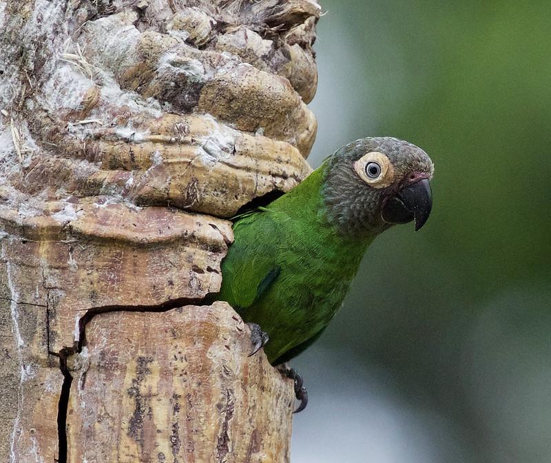Dusky-headed Parakeet_Aratinga weddellii_Ascanio_Amazon Cruise Cornell_DZ3A5997