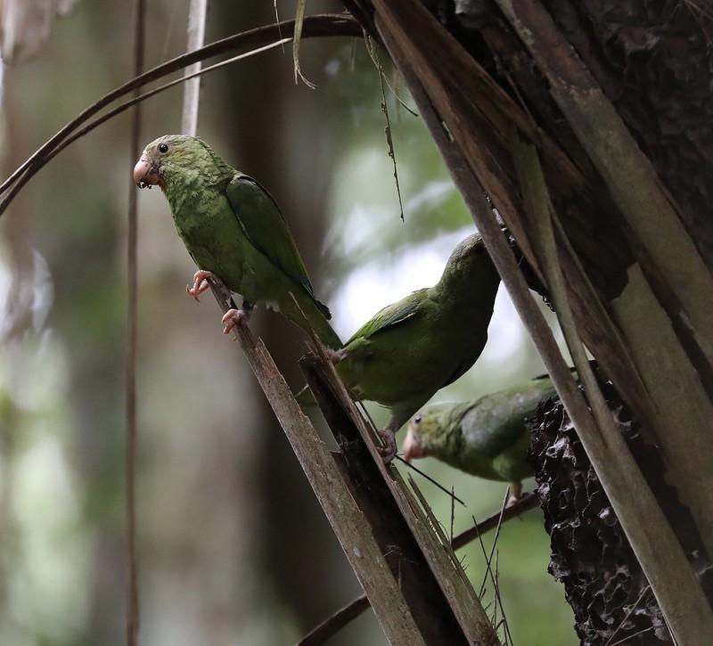 Cobalt-winged Parakeet_Brotogeris cyanoptera_Ascanio_Cornell Amazon Cruise_DZ3A6565
