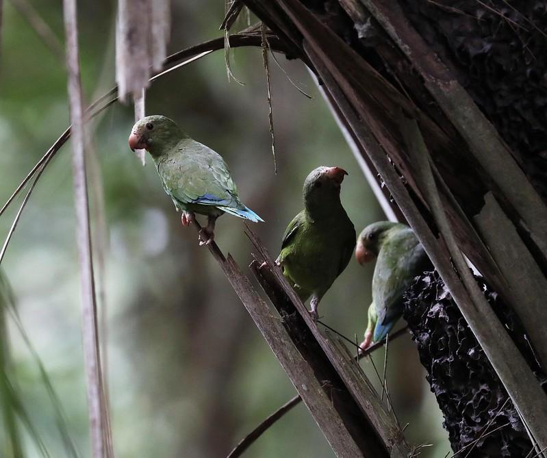 Cobalt-winged Parakeet_Brotogeris cyanoptera_Ascanio_Cornell Amazon Cruise_DZ3A6529