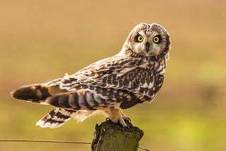 Sumpfohreule short eared owl asio flammeus wildlife