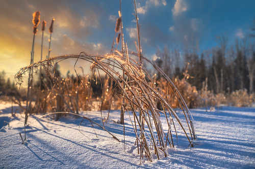 canada flickr moncton newbrunswick shawnharquail sunset cattail cloud clouds ice landscape nature outdoor shawnharquailcom snow weeds winter