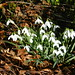 Snowdrops, Braes of Gight, Methlick, Aberdeenshire, Feb 2020