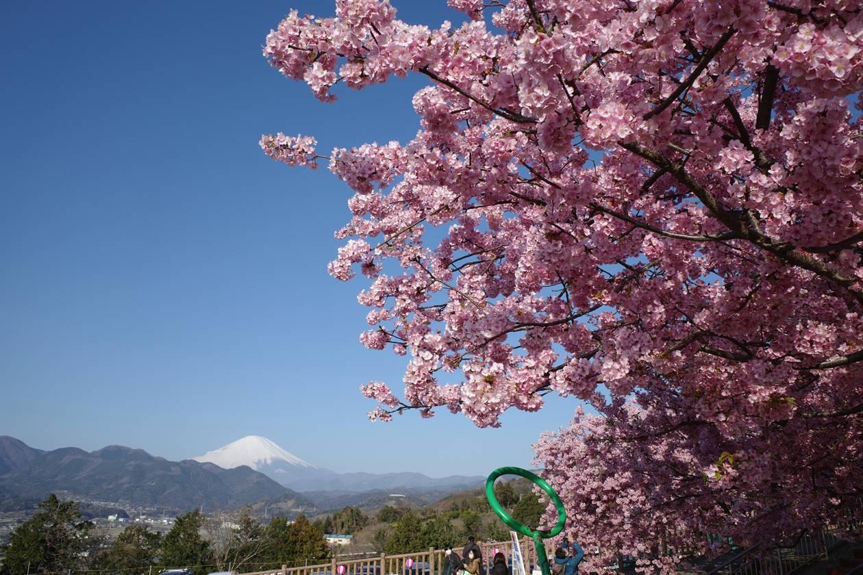 松田山 富士山と河津桜