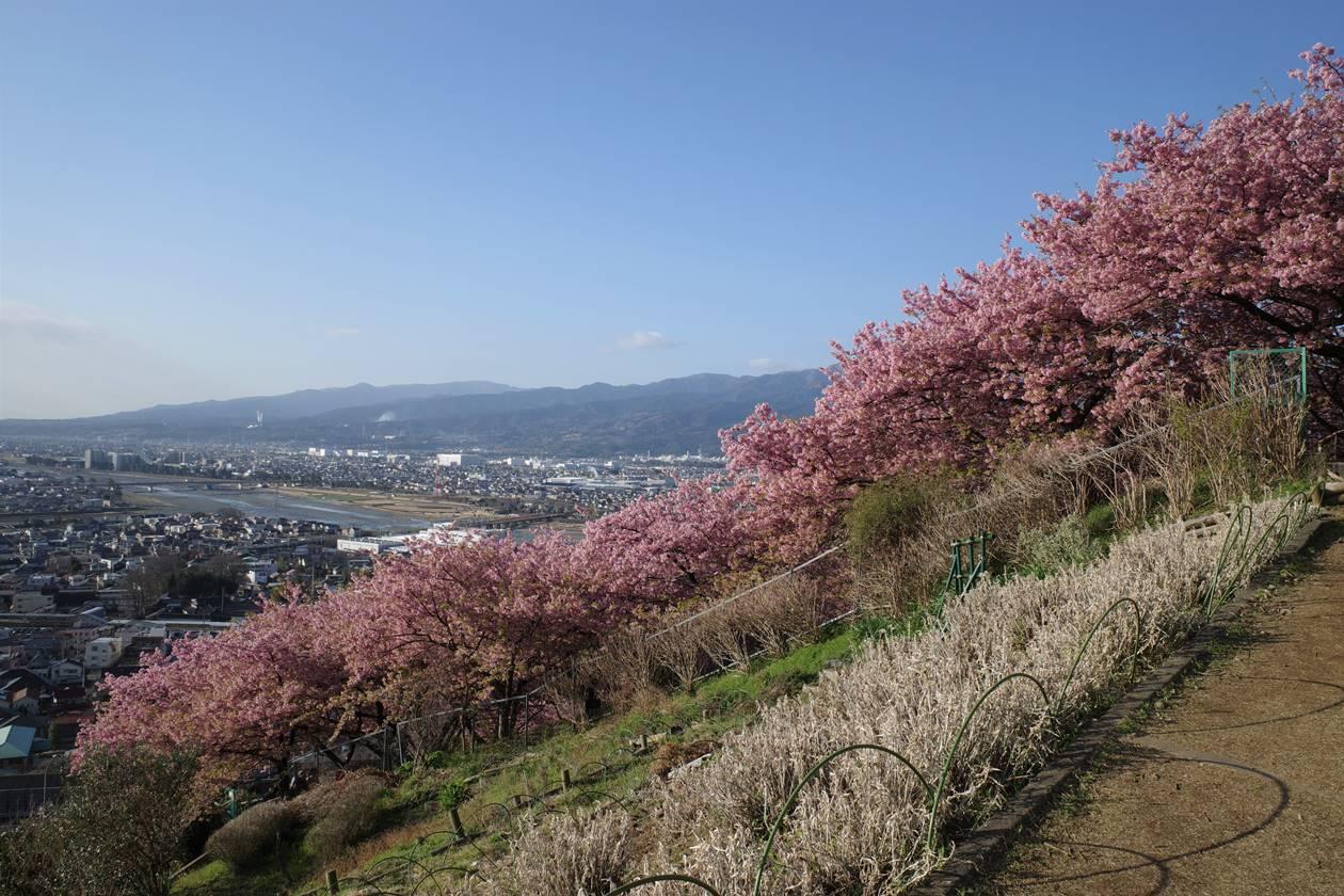河津桜と街の風景