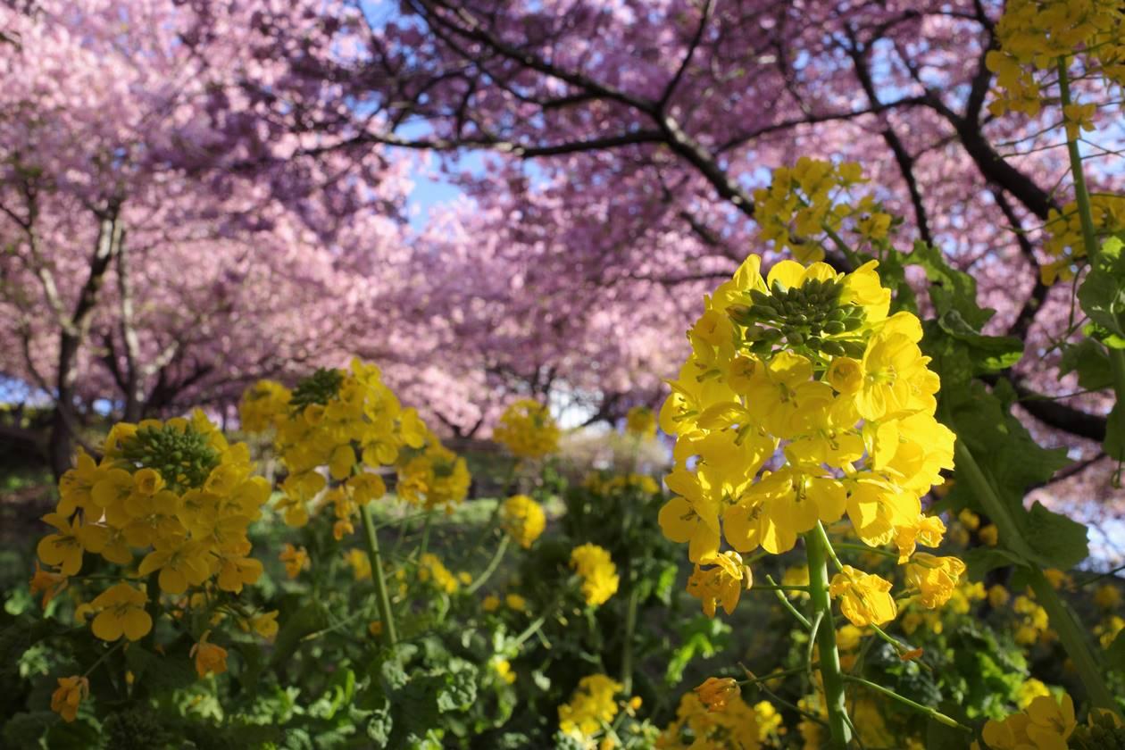 松田山 菜の花と河津桜