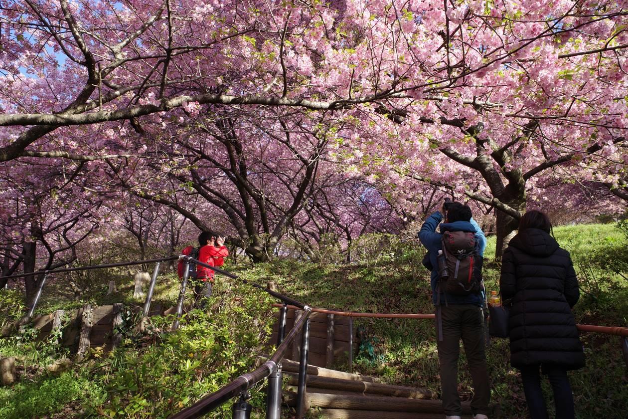 まつだ桜まつり 満開の河津桜