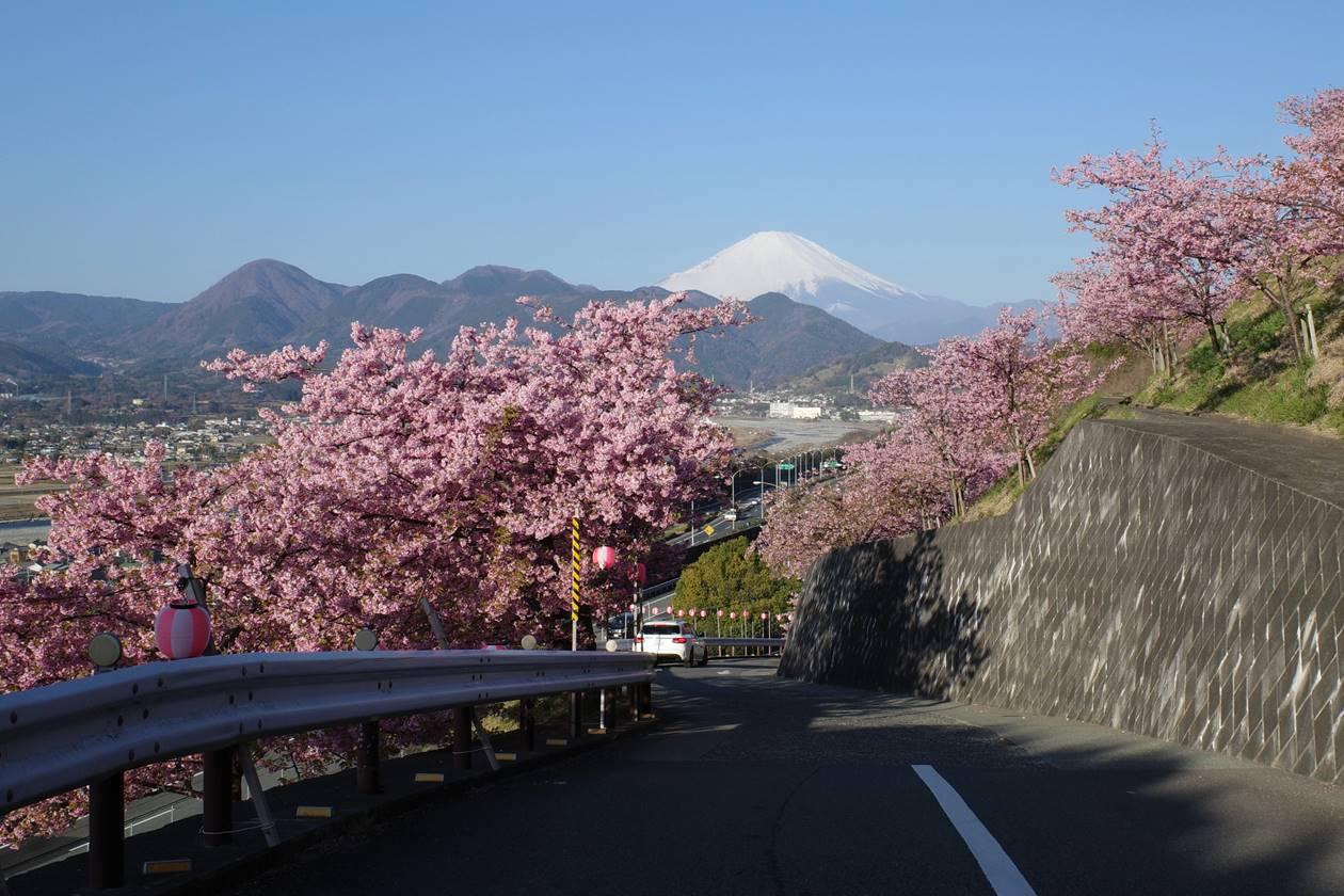 松田山の河津桜と富士山