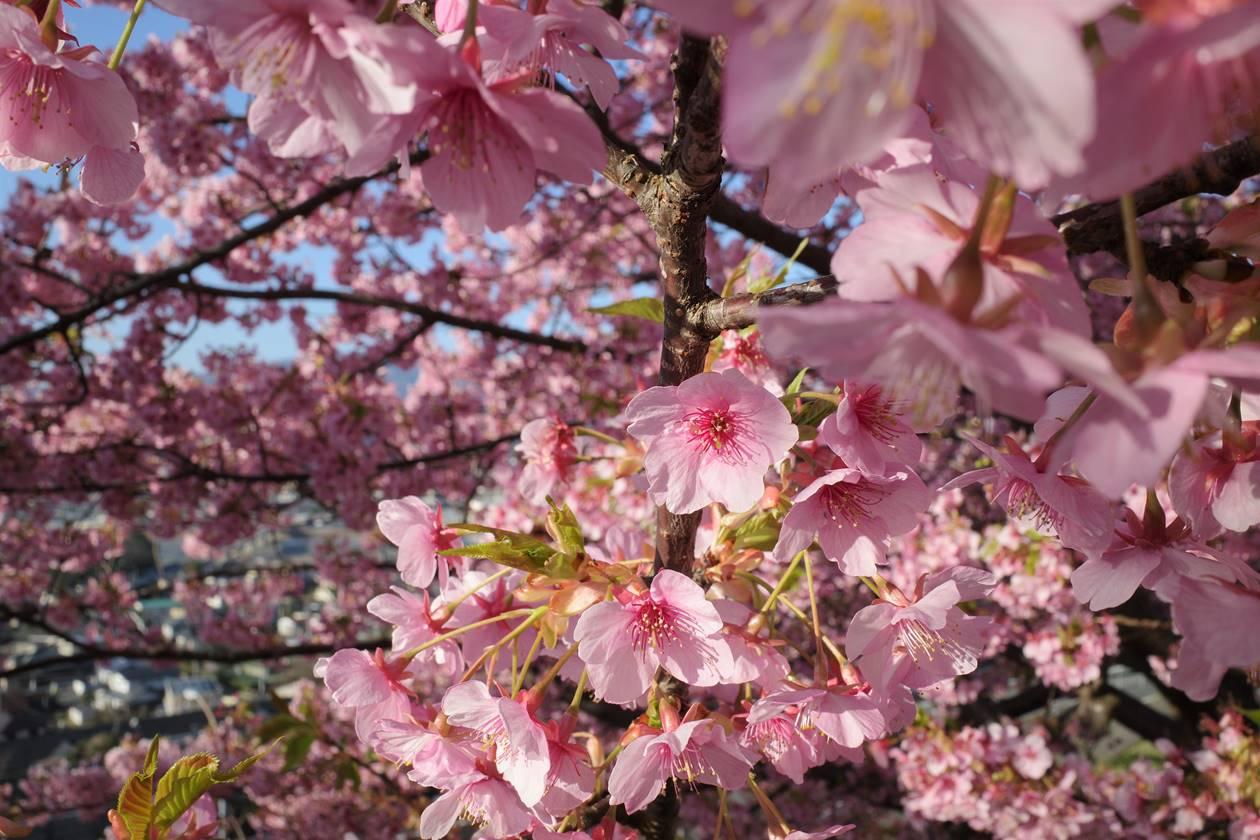 2月に満開を迎える河津桜