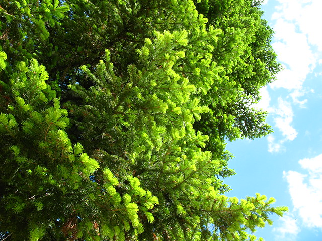 Siberian fir in Gornaya Shoriya