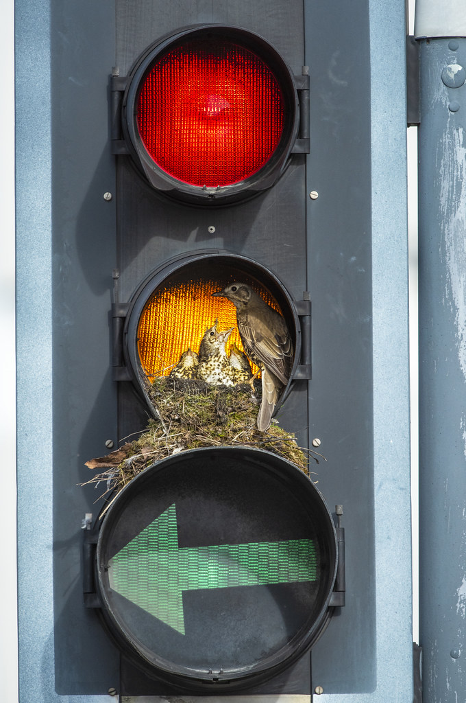 Mistle Thrush nesting in a traffic light